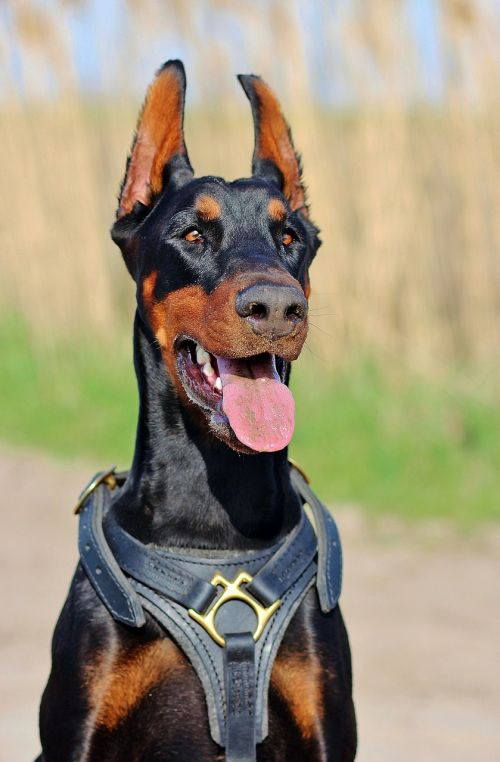 doberman dog language