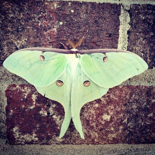 luna moth luna moth