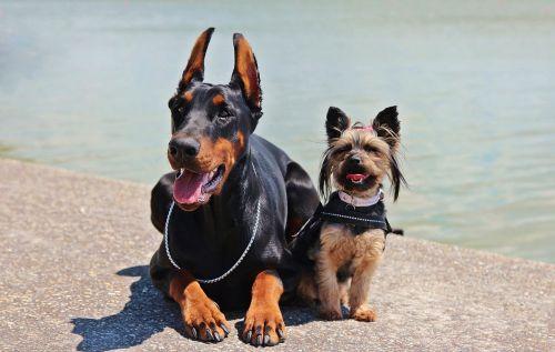 doberman yorkie dogs