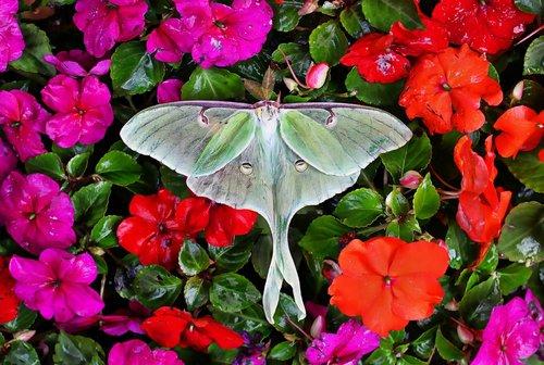 luna moth  moth  insect