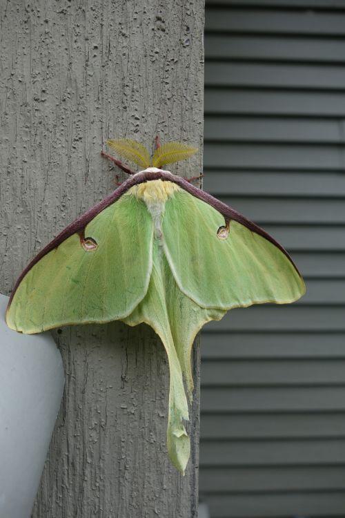 luna moth actias luna antenna