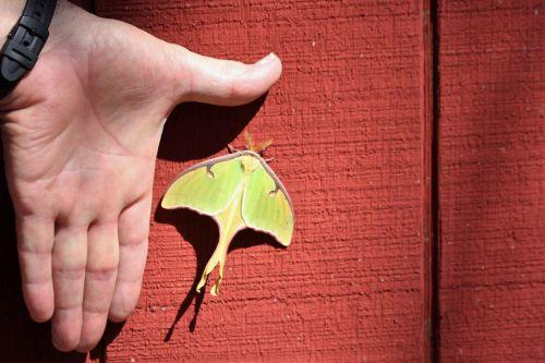 Luna Moth And Man's Hand