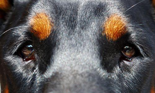 dog eyes doberman