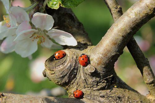 Lunching Ladybugs