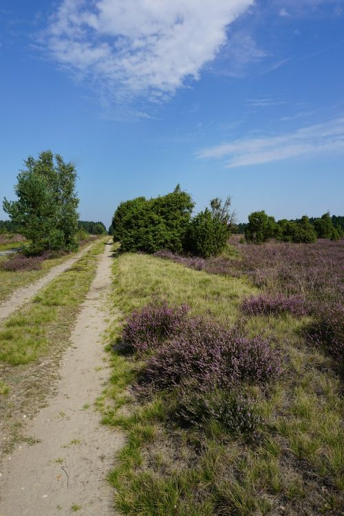 lüneburg heath summer heather