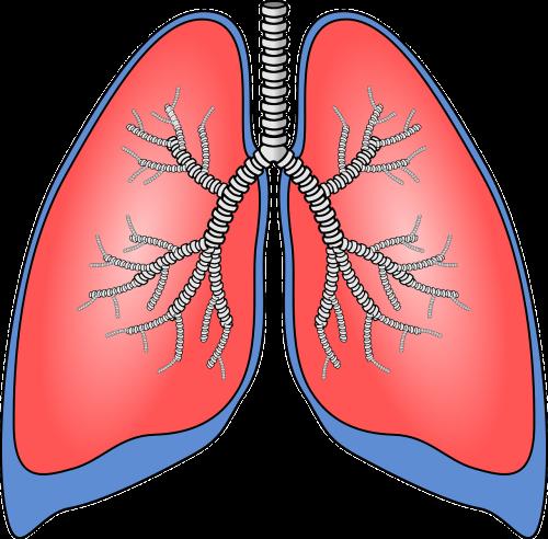 lungs organ anatomy