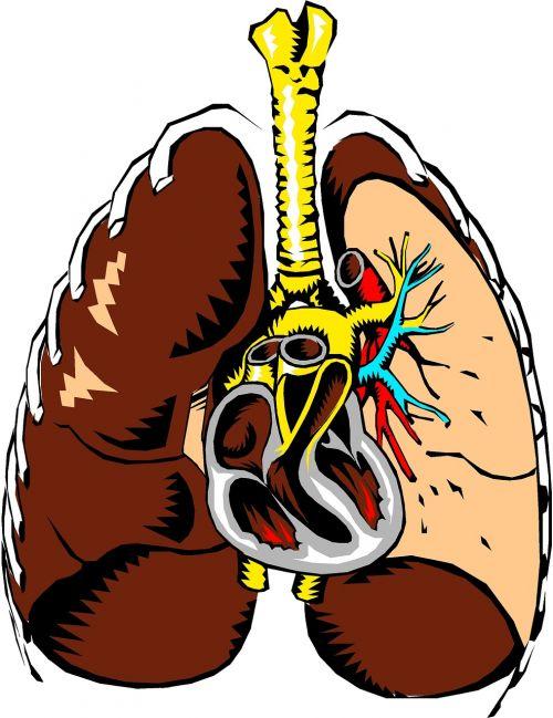 lungs heart anatomy