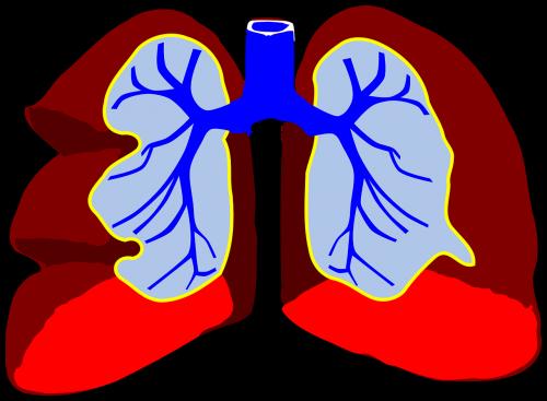 lungs human anatomy
