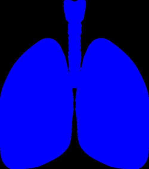 lungs human body anatomy