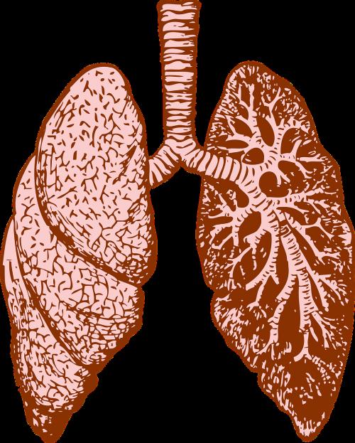 lungs organ human