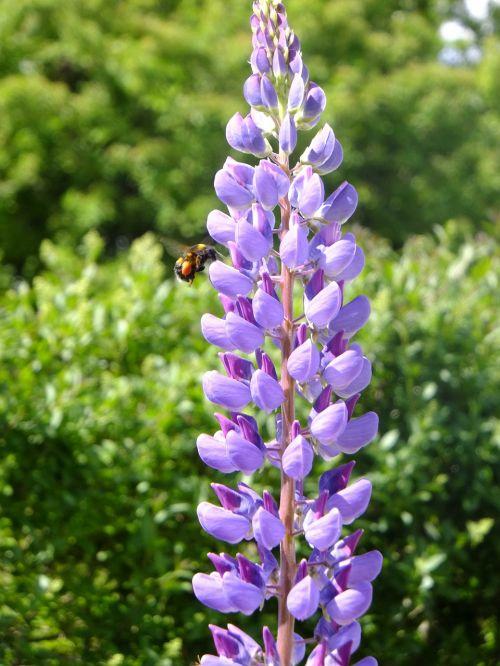 lupin natural purple