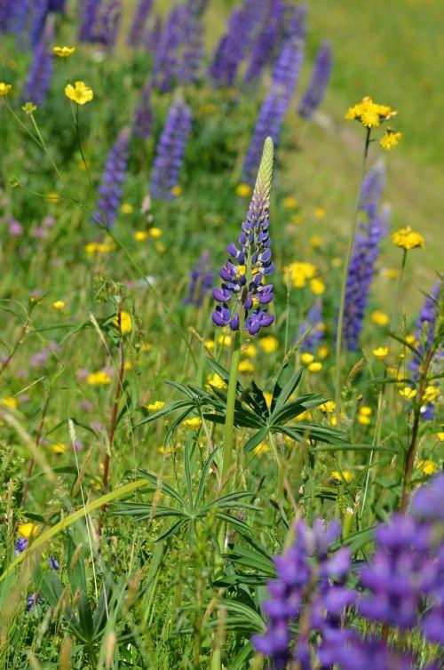 lupine vermont purple flowers