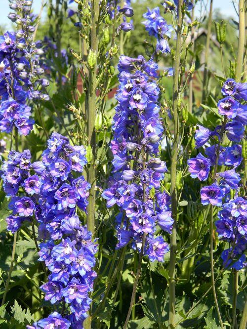 delphinium purple delphinium garden flowers