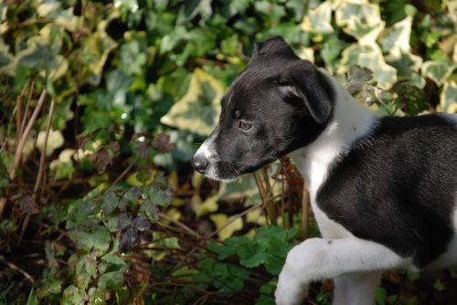 lurcher puppy canine