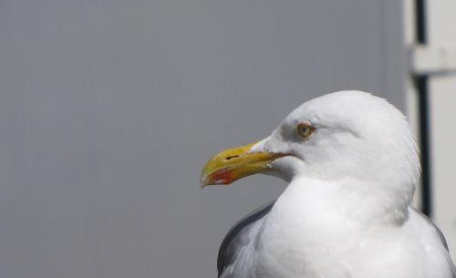 lurking food seagull