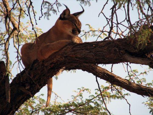 lux,medis,Namibija