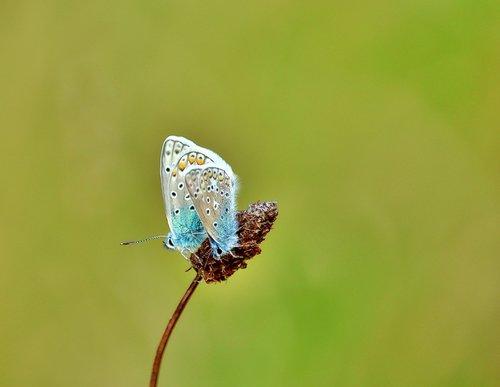 lycaenidae  pair  butterflies