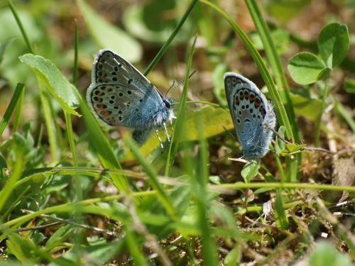 lycaenidae butterflies meadow