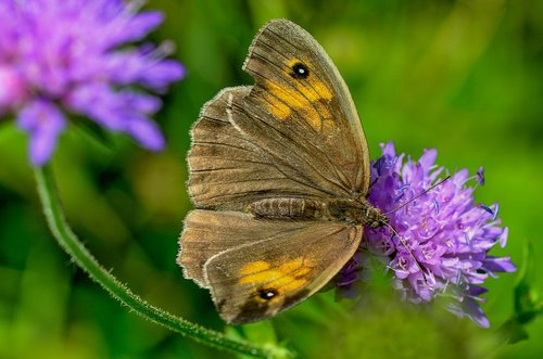 lycaon  nature  butterfly