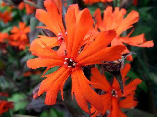 lychnis flower perennial