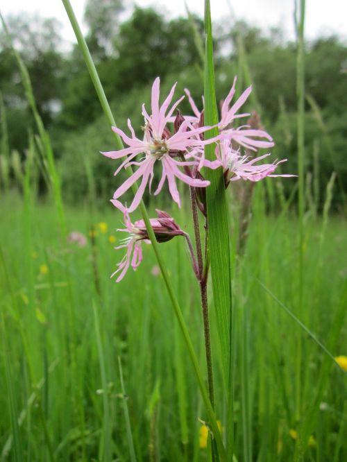 lychnis flos-cuculi ragged-robin wildflower