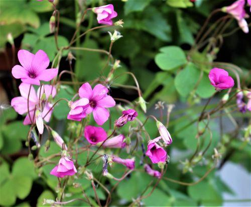 lyckoklöver clover flower