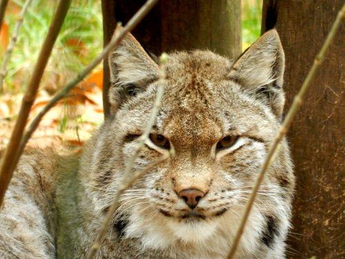 lynx zoo wildcat
