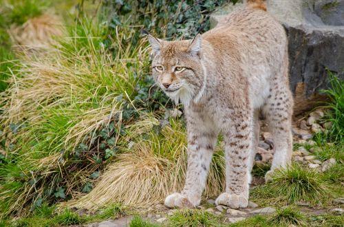 lynx feline mammal