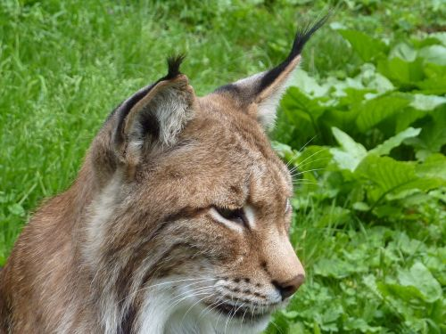 lynx cat wildcat