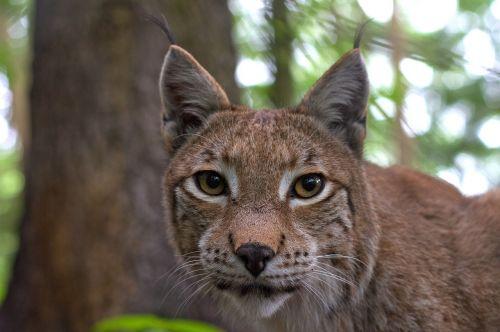 lynx cat felidae