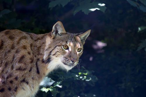 lynx wildcat predator