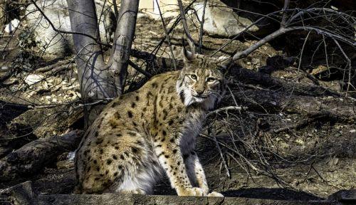 lynx cat animal