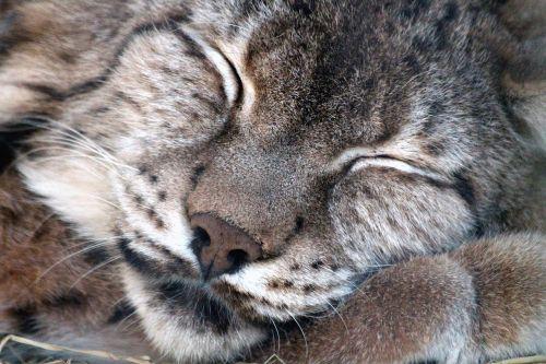 lynx lynx lynx wild cat