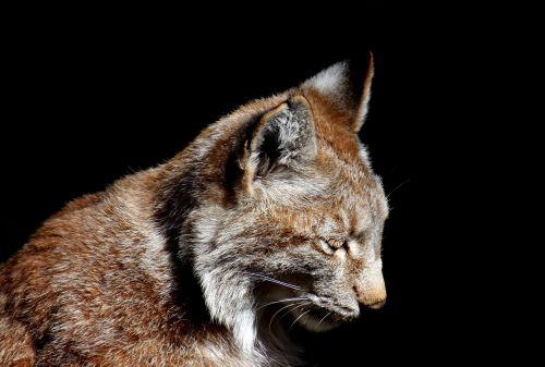 lynx wild animal wildcat
