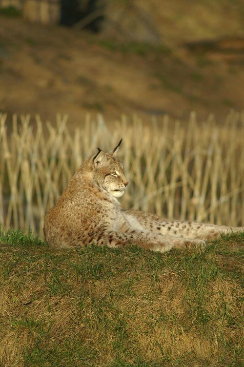 lynx wildcat