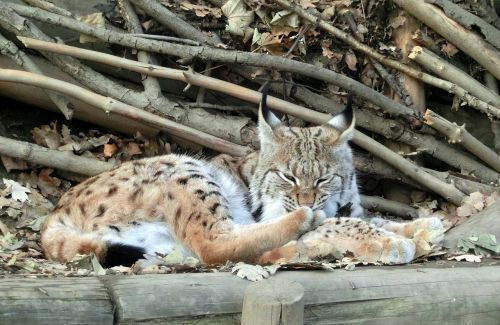 lynx cat alpine zoo