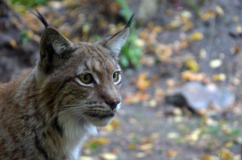 lynx cat wild