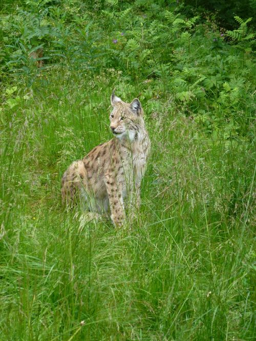 lynx predators the nature of the