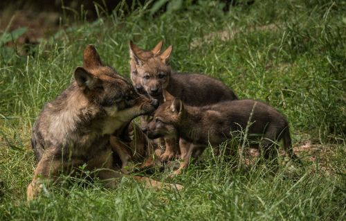 lynx children play