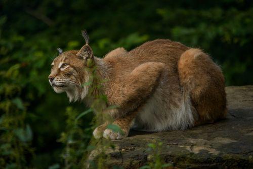 lynx eurasischer lynx hunter