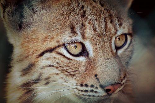 lynx lynx baby young animal