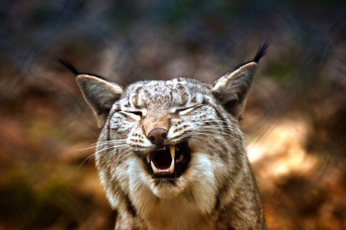 lynx imprisoned eurasischer lynx
