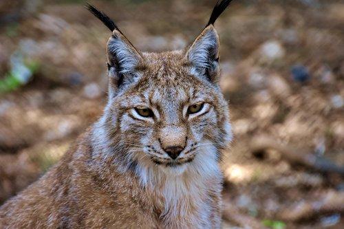 lynx  big cat  wild animal