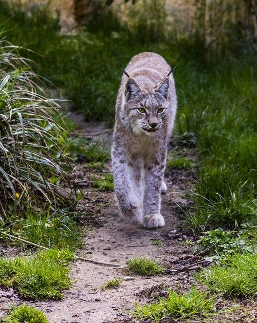 lynx  mammal  zoo
