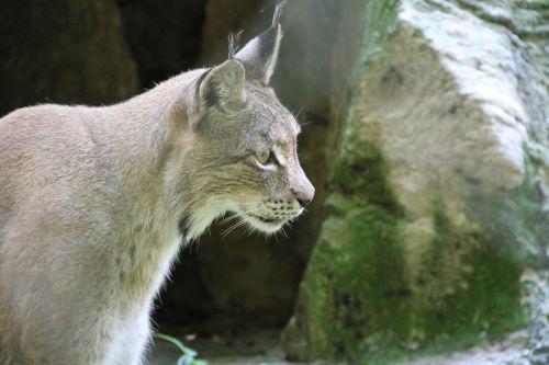 lynx animal wildcat