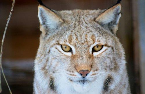lynx  predator  nature