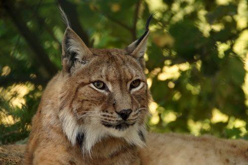 lynx animal cat