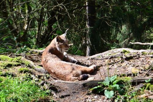 lynx wildcat cat