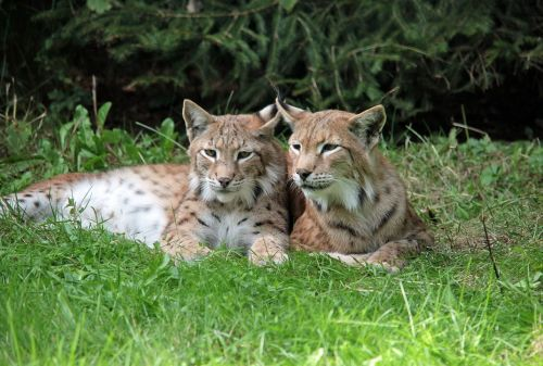 lynx young animals rest
