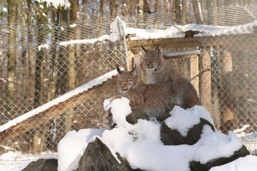 lynx lynx lynx eurasischer lynx